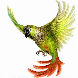 Green Cheek Conure by Melissa Toothman - Drawing All Drawing