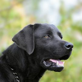 Fred by Jenkinson Balinggan - Animals - Dogs Portraits ( labrador retriever, black dog, dog portrait, labrador, dog, friend, animal,  )