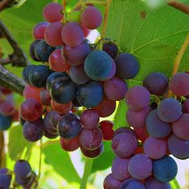 my grape by LADOCKi Elvira - Nature Up Close Gardens & Produce