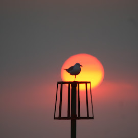 Sunset Gull by Dan Siverns - Landscapes Sunsets & Sunrises
