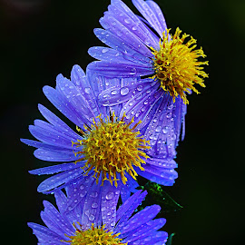 Trio d'aster by Gérard CHATENET - Flowers Flowers in the Wild