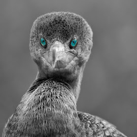 The eyes have it by Sandy Scott - Digital Art Animals ( swimming birds, shore birds, double-crested cormorant, fishing birds, bird portrait, birds in b&w, cororant, birds )
