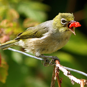 Silvereye by Phil Le Cren - Animals Birds ( bird, silvereye, wildlife )