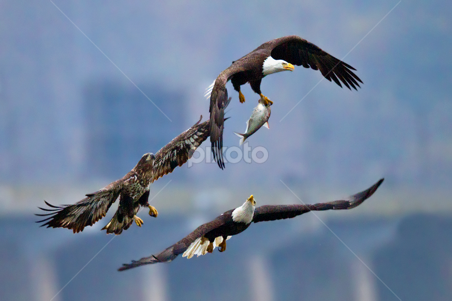 by Herb Houghton - Animals Birds ( bird of prey, eagle, chasing, bald eagle, raptor, fighting, fishing )