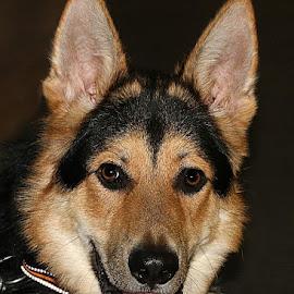 Zack by Chrissie Barrow - Animals - Dogs Portraits ( tongue, pup, male, german shepherd dog, cream, portrait, eyes, pet, fur, ears, puppy, dog, nose, tan, black )