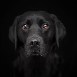by Daniel Meyer - Animals - Dogs Portraits ( labrador retriever, dogs, dog portrait, labrador )