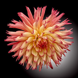 AYLI dahlia 47 17 by Michael Moore - Flowers Single Flower (  )