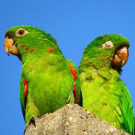 As Ararinhas by Jose Ricardo Ribeiro Reis - Animals Birds