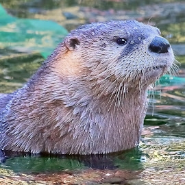 0 Otter 9999~ by Raphael RaCcoon - Animals Other Mammals