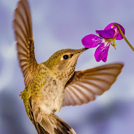 hummingbird  by Shane R Fairburn - Animals Birds ( bird, flying, hummingbird, flower, animal )