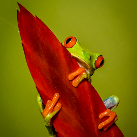 Get a Grip by Myra Brizendine Wilson - Animals Reptiles ( frog, red eyed tree frog, reptile, animal )