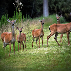 Herd of deer by Priscilla Renda McDaniel - Animals Other Mammals ( five, state park, brown, 1 fawn, large, deer )
