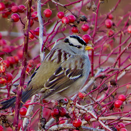 White Crowned Sparrow by Nick Swan - Animals Birds ( nature, white crowned, wildlife, bc, sparrow )
