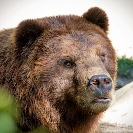 Brown Bear at the Zoo by Debbie Quick - Animals Other Mammals ( debbie quick, nature, outdoor photography, nature up close, nature lovers, natures best shots, debs creative images, national geographic, outdoor magazine, wildlife photography, outdoors, mammal, animal photography, animal, bear, brown bear, wild, nature photography, wildlife )