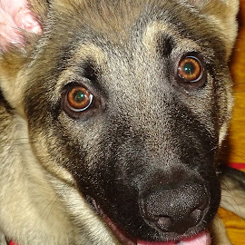 Bishop by David Walters - Animals - Dogs Portraits ( animal portrait, dogs, pets, german sheppard, puppy, sony hx400v )