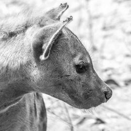 Hyena by Garry Chisholm - Black & White Animals ( hyena, mammal, nature, abuko, wildlife, garry chisholm, canon )