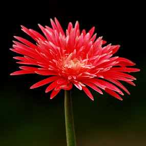 by Roopesh Anjumana - Nature Up Close Flowers - 2011-2013