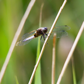 Dragonfly by Becky Welsh - Novices Only Wildlife ( wings, glass, insect, dragonfly, reeds, eyes )