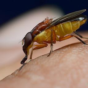 horsefly by Zaidi Razak - Animals Insects & Spiders