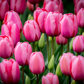 Tulips by Darren Sutherland - Flowers Flower Gardens