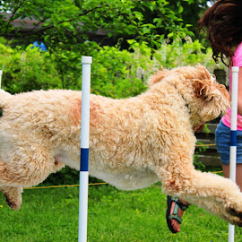 Buddy 0.2 by Cecilia Sterling - Animals - Dogs Running ( jumping, dog sports, dog agility, goldendoodle, dog )