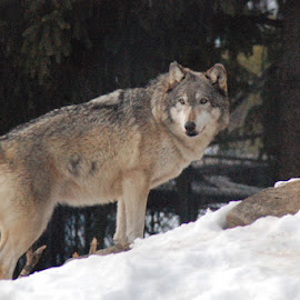 Timber Wolf by Skye Stevens - Animals Other Mammals