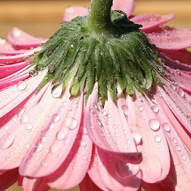 Rest by Giovanna Pagliai - Flowers Single Flower ( fall, drops, pale, pink, updown )