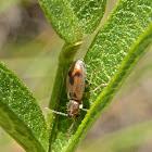 Monoceros Beetles