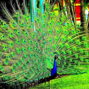 Angkuh by Roni Terisno - Novices Only Wildlife ( bird, dream world, australia, travel, peacock )