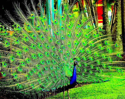 Angkuh by Roni Terisno - Novices Only Wildlife ( bird, dream world, australia, travel, peacock )