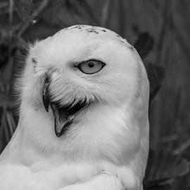 Snowy by Garry Chisholm - Black & White Animals ( raptor, bird of prey, nature, snowy owl, garry chisholm )