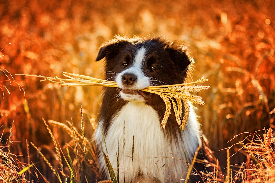 by Lukáš Lang - Animals - Dogs Portraits ( border collie )