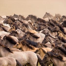 Wildpferde by Winfried Rusch - Animals Horses ( deutschland, wildpferdefang, wildpferde, pferd, merfelder bruch, reisen, tiere, säugetier )