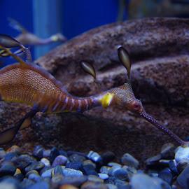 Puff the Magic Dragon by Susan Fries - Animals Sea Creatures ( closeup image, phycodurus eques, leafy seadragon, australia, phycodurus, animal,  )