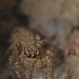 Spiderrrrrr by Ahsan Changezi - Animals Insects & Spiders ( spider, photography )