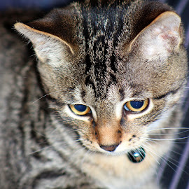 My Bell by Rhonda Mullen - Animals - Cats Portraits