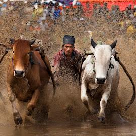 by Mohd Norhisyam Bahrom - Sports & Fitness Rodeo/Bull Riding ( sumatera, lembu, bukit tinggi, pacu jawi, mnbphoto, bull riding )