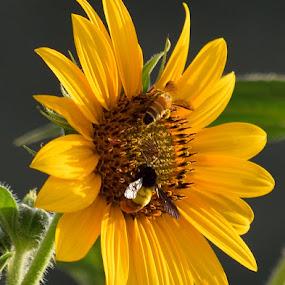 Sunflower by Tahir Sultan - Flowers Single Flower ( #flower, #closup, #nature, #sunflower, #bee,  )