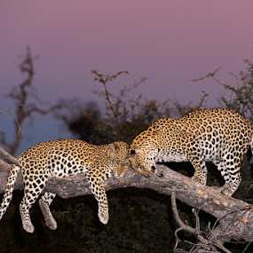 Affection by Brendon Cremer - Animals Lions, Tigers & Big Cats ( wildlife* incomplete )