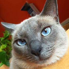 Annoyed Cateelsie by Debra Branigan - Animals - Cats Portraits ( cats, animals, catleesie, portrait, photography )