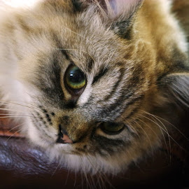 Comfortable by Ingrid Anderson-Riley - Animals - Cats Kittens (  )