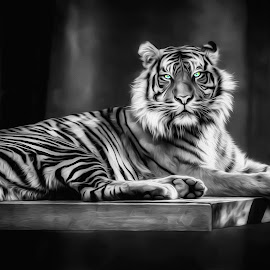Eye Of The Tiger by Shannon Rogers - Digital Art Animals ( shannon rogers, white tiger, tiger, bengal tiger )