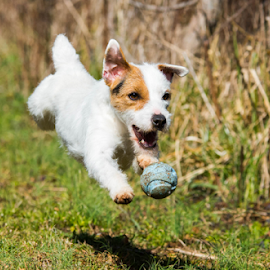 Our Jack Russell Merida by Amy Humphrey - Animals - Dogs Running (  )