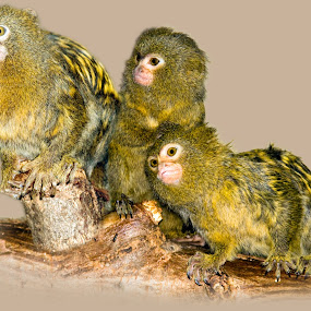 by Lajos E - Animals Other Mammals ( pygmy, isolated, cebuella, pygmaea, young,  )