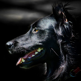 Collie Profile by Tracey Beer - Animals - Dogs Portraits ( canine, black dog, collie, border collie, mans best friend, dog, black, friend )