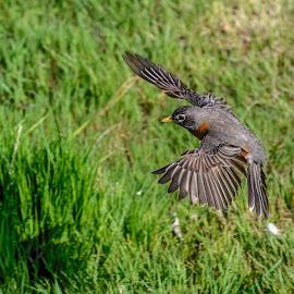 Landing by Vanko Dimitrov - Animals Birds ( robin, landing,  )