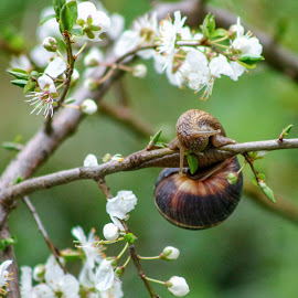 Snail by DC Photos - Novices Only Macro ( tree, fresh, snail, spring, blossom )