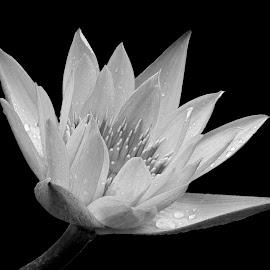 Waterlily  by Asif Bora - Black & White Flowers & Plants