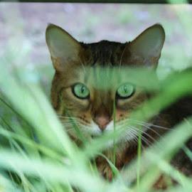 Cassias by Danielle Leah - Animals - Cats Portraits