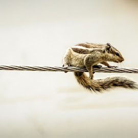 In balancing act by Akashneel Banerjee - Animals Other ( rope, close up, portrait, squirrel, animal )